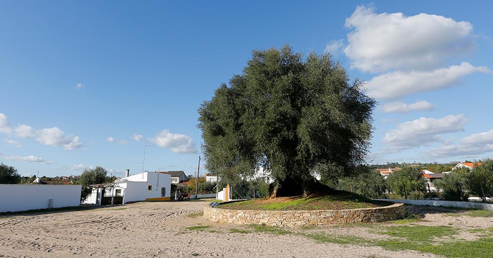 Oliveira do Mouchão